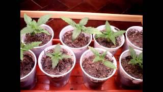 Time Lapse de plantas creciendo desde semillas