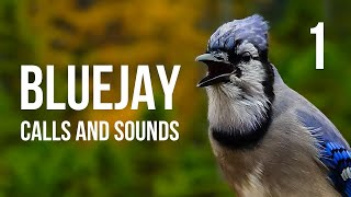 Blue Jay calls and sounds Part 1