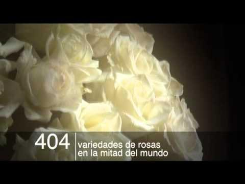 Pétyalos y rosas de Quito