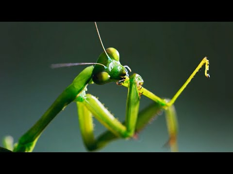 The Headless Mating Mantis | The Mating Game | BBC Earth