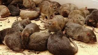 La casa de las ratas