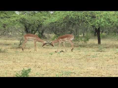 impala males sparing South Africa 2012 282.MOV