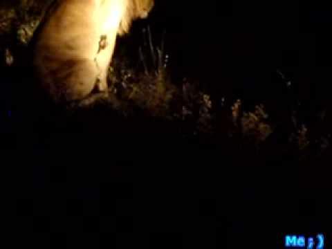 Mark and Jenn's Safari – Lion's Roar