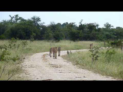 africa.cheetahs1.tintswalo.MOV