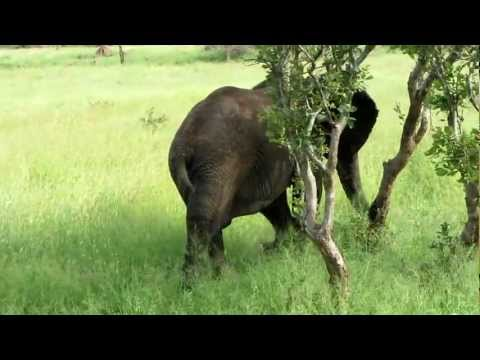Hungry Elephant in South Africa