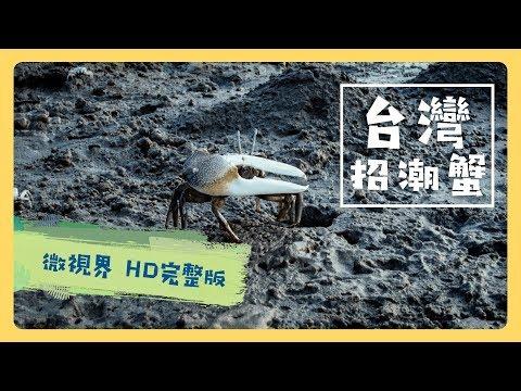 台灣招潮蟹 -公視《台灣特有種》微視界HD版 Episode#6