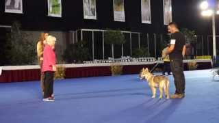 PERRO LOBO CHECOSLOVACO eralin andando  EXPO CANINA MALAGA 2013