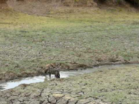 Hyenas at Zambia