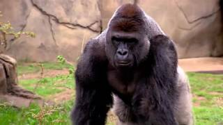 RIP Harambe Gorilla full story till his murder - Gorilla Shot Dead to save a child