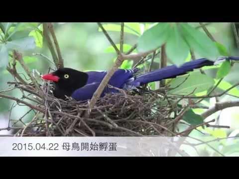 台灣藍鵲育雛紀錄 - YouTube