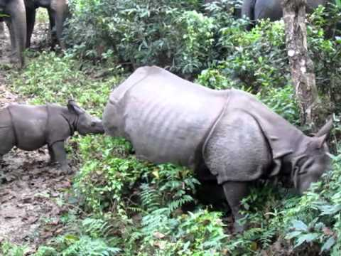 RHINOCEROS MOTHER AND BABY, CHITWAN NATIONAL PARK, NEPAL