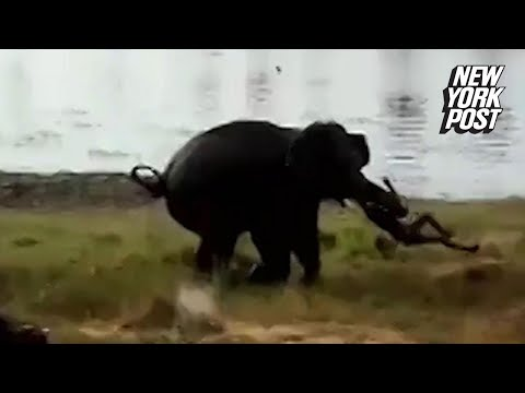 VIDEO: Un elefant omoara un om