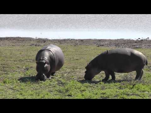 Hippos at Camp #70 Kayer Kailja,  Ndlovumzi Reserve, Hoedspruit, Limpopo South Africa.