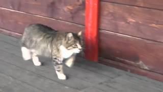 Gato marchando