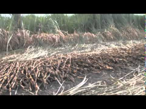 Sugar Cane – South Africa Travel Channel 24