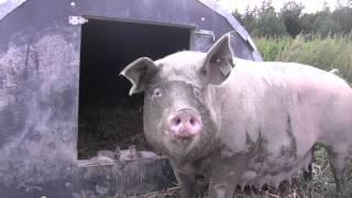 Grøstadgris - Nyfødte griser