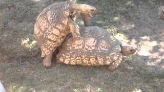 Sex Tortoises!