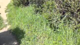 Rattlesnake (sound only)