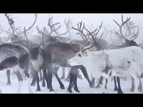 Агрокомплекс «Инта Приполярная» усилит оленеводческое направление