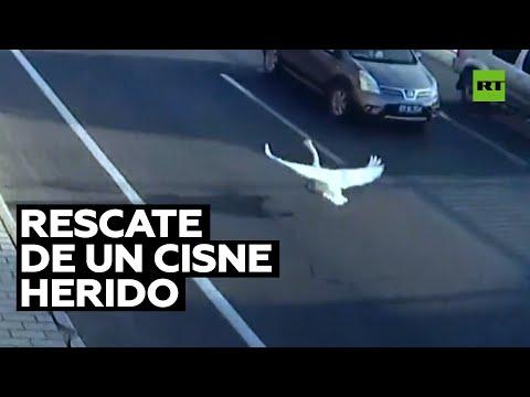 Policía rescata a un cisne herido en una ciudad china