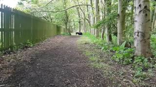 Labrador retriever running and jumping like a frog!