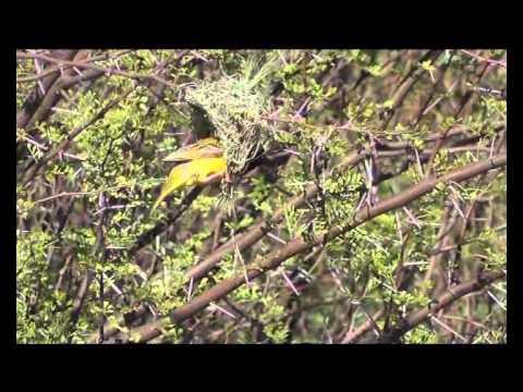 Weaverbird building a nest