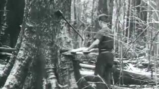 Antigamente era assim que se cortava árvore