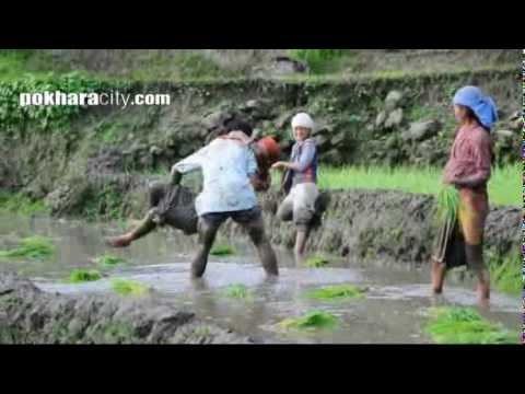 Ropai In Nepal, Rice Cultivation, Paddy Cultivation, Pokhara Ropai