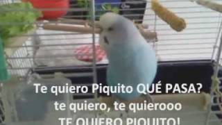 "periquito que habla / my TALKING budgie ""ARE YOU TALKING TO ME? I KILL YOU!"""