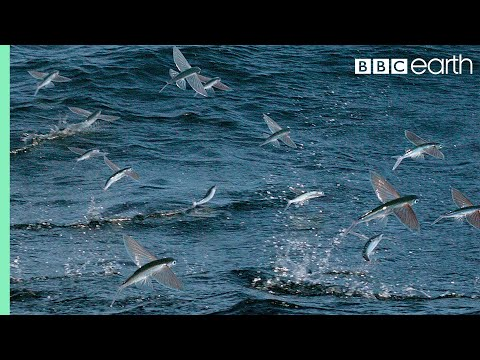 Flying Fish Picked Off From Above And Below - The Hunt - BBC Earth - YouTube
