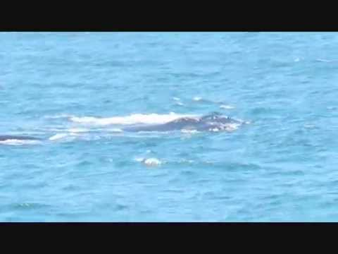 Southern Right Whale Sightings  in Cape Town (HD)