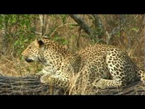 Leopards of Botswana and South Africa's Sabi Sands