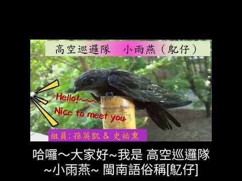 校園生態筆記~小雨燕