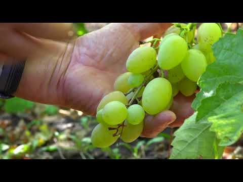 Виноградный уголок в Красном Сулине