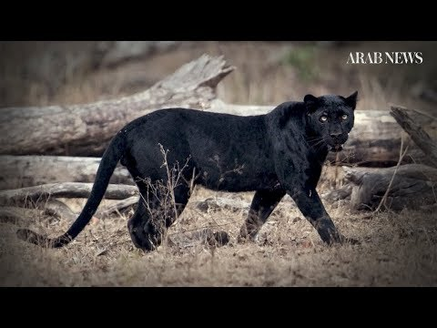 Elusive 'black panther' sighted in Kenya for the first time in a century