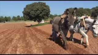 El arado romano sigue vivo en Orejana