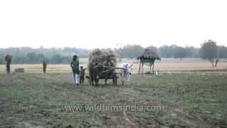 Farmer carry harvested crops on traditional bullock cart