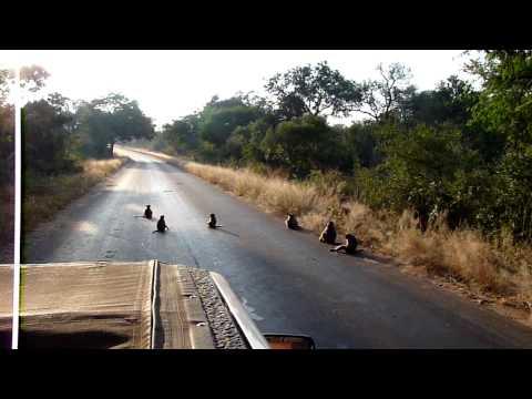 Impalas slip on road because it's wet