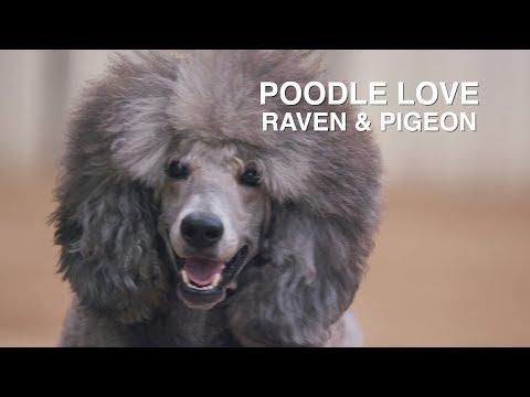 POODLE LOVE: RAVEN & PIGEON