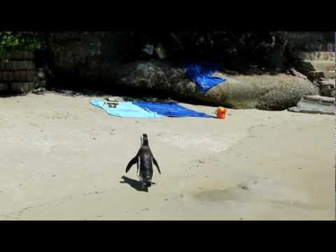 Penguins at Boulders Beach – South Africa.