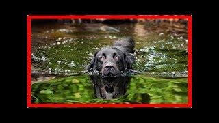 Hovawart – Geselliger und sportlicher Wachhund