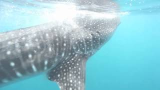 Whale Shark feeding on plankton in the Maldives, June 2012