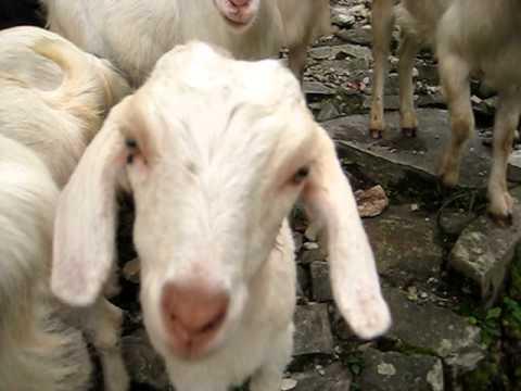 Goats near Tolka, Nepal