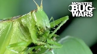 Predatory Katydid Vs Green Praying Mantis | MONSTER BUG WARS