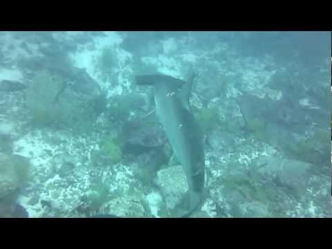 Hammerhead sharks at Gordon's Rock in Galapagos Islands, Ecuador