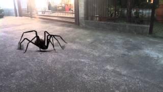 Ragno gigante!