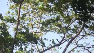 dança das árvores ao som do vento