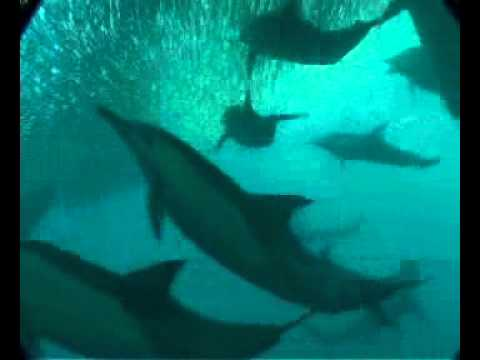 Sardine Run Video Clip