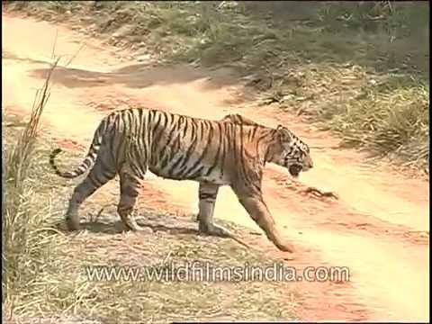 Tiger (Panthera tigris) : largest cat species walks a forest path in India