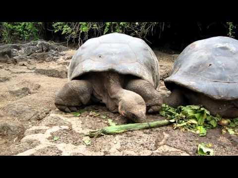 Giant Turtles Eating, Galapagos
